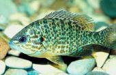 Het verschil tussen Bluegill & Sunfish