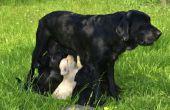 Hoe kan ik zien of mijn Labrador zwanger is?