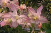 De betekenis van de bloem Columbine