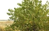 Hoe een boom Catalpa snoeien in de zomer