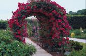 How to Grow een Arbor klimmen Rose in Noord-Californië