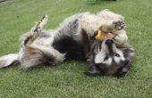 Hoe weet u of een vrouwelijke hond heeft al gesteriliseerd
