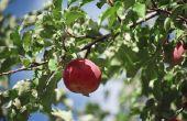 Waarom mijn appels vallen van de boom zo vroeg?