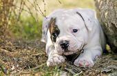 Wanneer een Amerikaanse Bulldog stoppen met groeien?