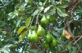 Zutano Avocado boom feiten