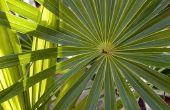 Hoe te drogen Palm takken