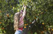 Waarom vallen de vruchten uit de Citrus bomen?