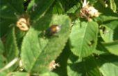 Hoe u kunt besturen van Japanse kever larven