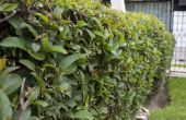 Liguster Tree Care & trimmen