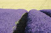Hoe Plant een lavendel Hedge