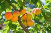 Abrikoos bomen voor koude locaties