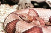 Hoe herken ik het verschil in Copperhead & zwarte Rat slangen