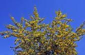 Bomen met gele bloemen
