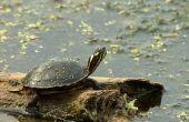 How to Take Care van een geschilderde schildpad-ei