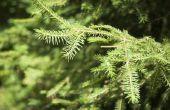 Aanpassingen van coniferen
