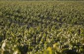 Zwarte vlekken op wijnstokken