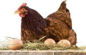 How to Raise kippen voor eieren