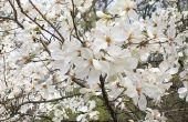 Magnolia boom plagen