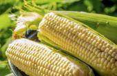 Hoe kunt u zien wanneer de suikermaïs Is klaar voor oogst