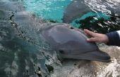 Hoe om te zwemmen met dolfijnen in Destin Florida