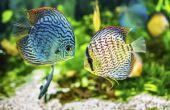 Hoe te behandelen schimmel op aquariumvissen