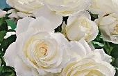 Hoe te snoeien ijsberg rozen