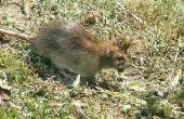 How to Kill veld ratten