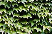 Het behouden van vers gesneden Engels Ivy