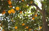 Kunnen hebben de sinaasappelbomen rijp Fruit & bloemen op hetzelfde moment?