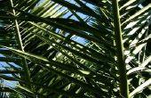 Ziekten in Pindo palmbomen