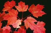 Welke maand een rode esdoorn-boom te bloeien in Centraal Florida?