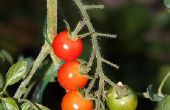 Verkiest tomatenplanten ochtend of middag zon?