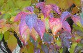 Het toevoegen van ongelooflijke Fall Color met een Chinese kornoelje-boom