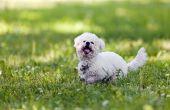 Soorten honden met krullend haar