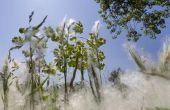 Symptomen van allergie voor Cottonwood