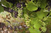 Waarom de druiven Rot voordat rijpen?