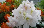 Betekenis van de bloemen van de Rhododendron