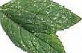Het behouden van pepermunt en Spearmint van het drogen of drogen