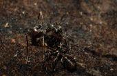 Hoe te doden de mieren op Okra planten