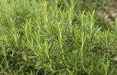 Hoe te behandelen van meeldauw op bladeren van de rozemarijn