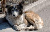 Wat kunt u uw hond geven als hij heeft een koude & koude rillingen?