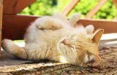 Hoe schoon kat plassen uit het tapijt
