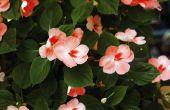 Oranje bloemen voor schaduw