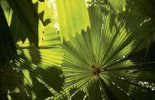 Zijn de bessen op Palm bomen slecht voor honden te eten?