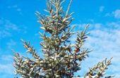 Hoe te identificeren van groenblijvende bomen in Wisconsin