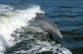 Zijn dolfijnen slimmer dan mensen?