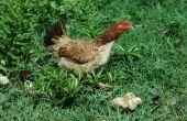 Hoe maak je een kip baars