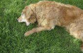 Hoe te stoppen met een hond uit het eten van gras