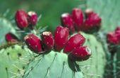 Het verwijderen van Cactus naalden of stekels