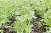Basiszorg voor Pea planten